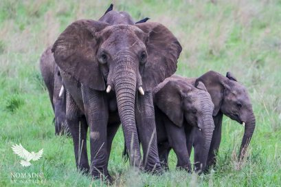 Elephant Guarding the Young, Kidepo Valley National Park, Uganda