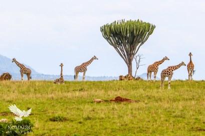 Giraffes on the Horizon, Kidepo Valley National Park, Uganda
