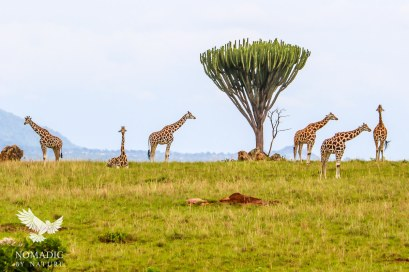 Giraffes on the Horizon, Kidepo Valley National Park, Uganda