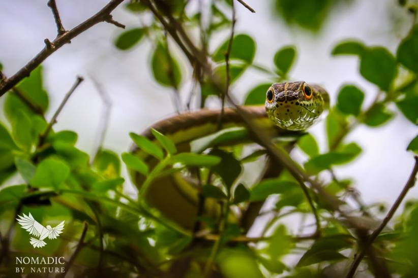 A Snake Hunting in the Trees, Kidepo Valley National Park, Uganda