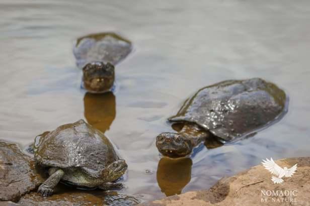 Turtles, A Chameleon on the go, Kruger National Park, South Africa