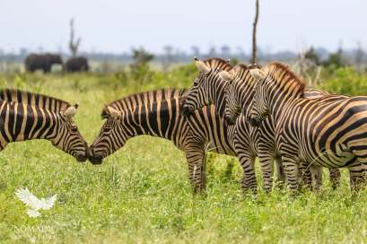 A Safari Wedding: and you may kiss the bride. Zebra Greeting, Kruger National Park, South Africa