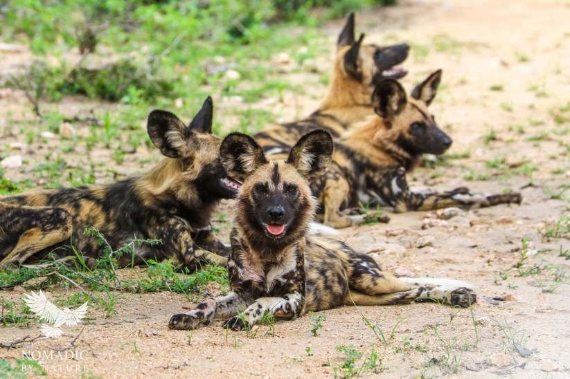 A Pack of African Painted Dogs at Rest, Kruger National Park, South Africa