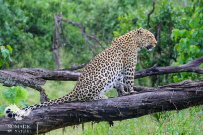 A Leopard Calling its Mate at Dawn, Hunda Islands, Jao Concession, Botswana