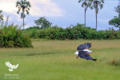 A Fish Eagle in Flight, Jao Concession, Botswana