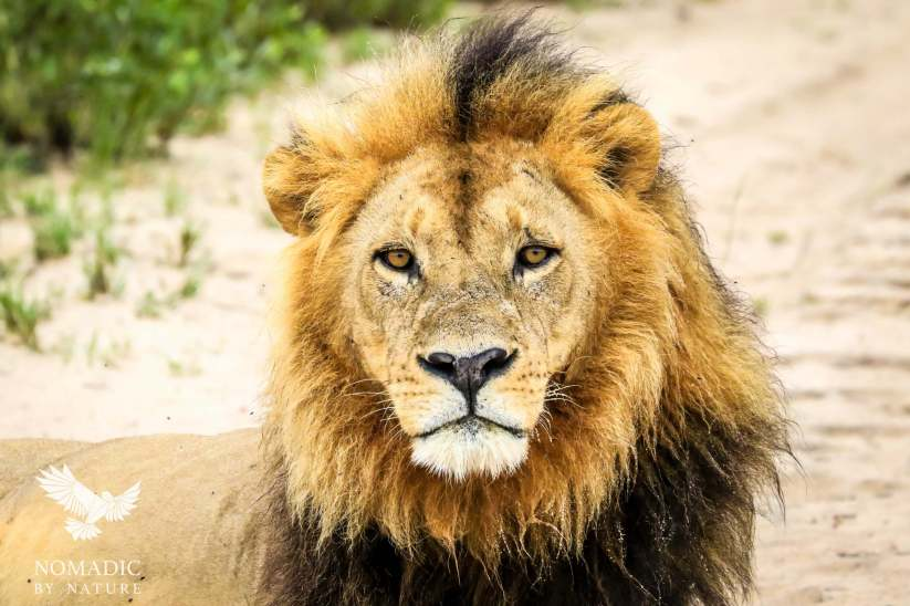 The Deep Stare of a Male Aquatic Lion, Jao Concession, Botswana