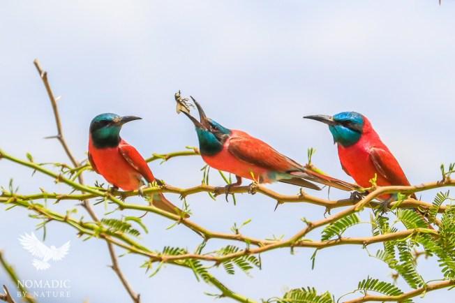 Magenta Bee-eaters Hunting, Lake Turkana, Kenya
