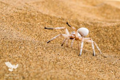 The Dancing White Lady Spider Showing her Moves, Dorob National Park, Namibia