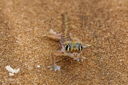 The Alien Eyes of the Palmato Gecko, Dorob National Park, Namibia