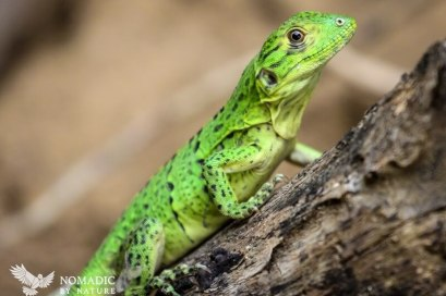 Baby Iguana, Nicoya Peninsula, Costa Rica