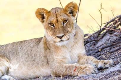 Lion Cub, Okavango Delta, Botswana