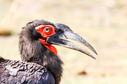 The Blue Eye of a Ground Hornbill, Okavango Delta, Botswana