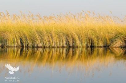 The Golden Reeds of the Okavango Delta, Botswana