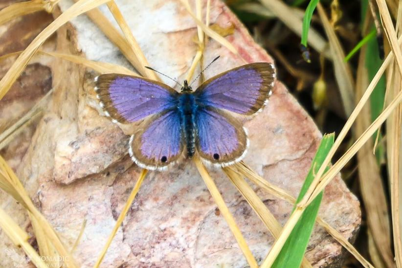 A Purple Butterfly in the Rwenzori Mountains