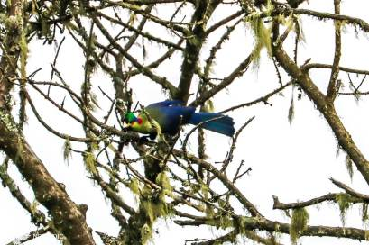 The Rwenzori Turaco, Rwenzori Mountains National Park