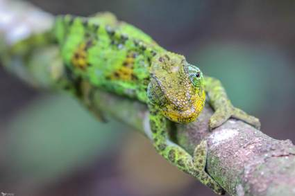 A Female Three Horned Chameleon, Rwenzori Mountains National Park