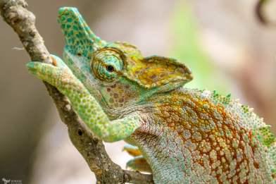 The Strange Horned Chameleon, Rwenzori Mountains National Park