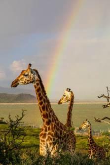 Rainbows and Giraffes at Lake Baringo