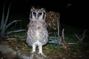 Verreaux's eagle-owl on Samatian Island