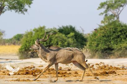 A Male Kudu Trots Away from the Watering hole, Savuti, Botswana