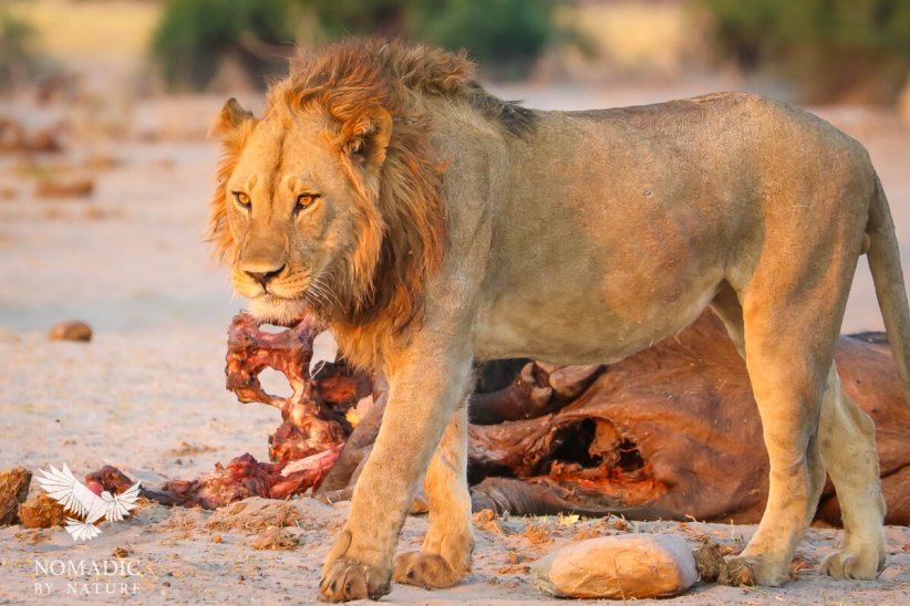 A Male Lion with Eyes Aflame with Devious Focus, Savuti, Botswana