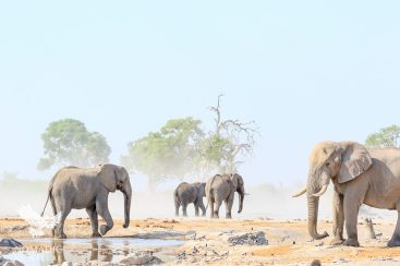 Elephants Guarding the Last Watering Hole in Savuti, Botswana