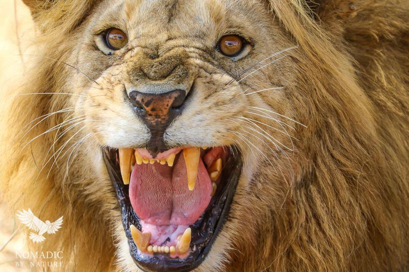 An Injured Male Lion Snarling at Us, Serengeti National Park, Tanzania
