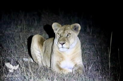 A Lioness at Night, Serengeti National Park, Tanzania