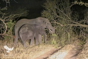 Elephants Pull A Tree Down Over Our Road, Serengeti National Park, Tanzania