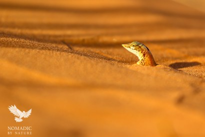 A Snout Lizard, Peering-out from the Dunes, Sossusvlei, Namibia