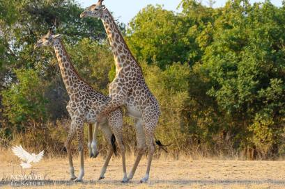Two Male Giraffes having a Good Time, South Luangwa National Park, Zambia