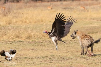 A Hyena Chases-off a Vulture, South Luangwa National Park, Zambia