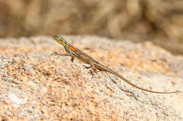 Rock Agama, Spitzkoppe, Namibia