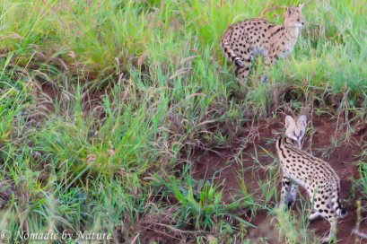 Serval Cats on the River Bank, Taita Hills