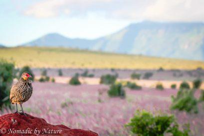 A Spur Fowl Watching the Horizon, Taita Hills