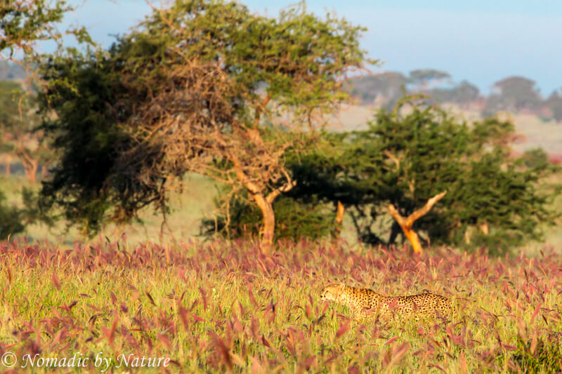 Cheetah Slipping through the Grass, Taita Hills