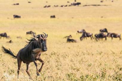 A Wildebeest Gallops Across the Plains
