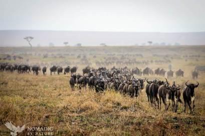 A Huge Herd of Wildebeest Head Right for Us
