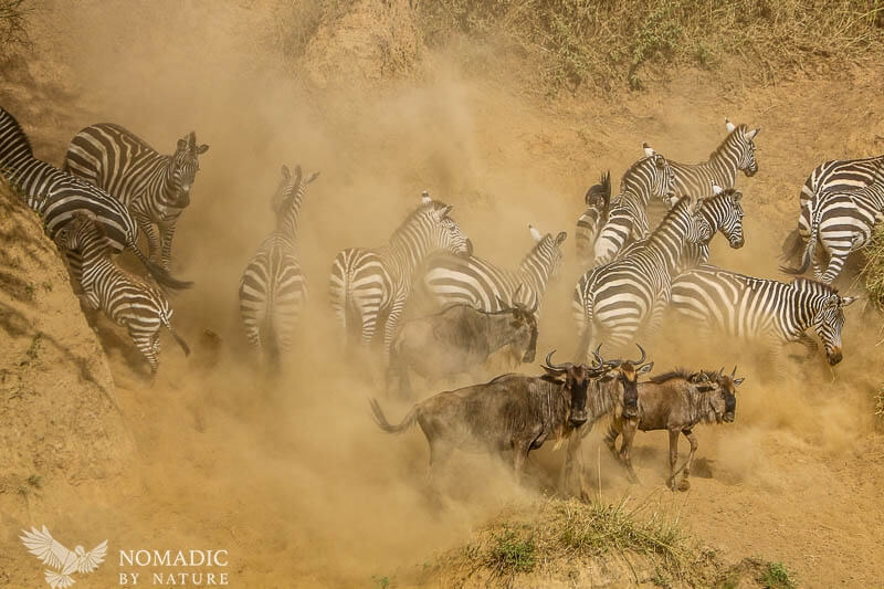 Frantic Zebra Whiz Past Wildebeest