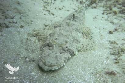Crocodile Fish, Scuba Diving, Tofo Beach, Mozambique