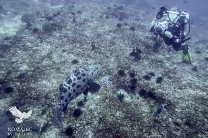 Potato Grouper, Scuba Diving, Tofo Beach, Mozambique