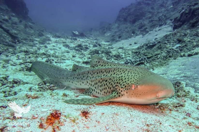 Leopard Shark, Scuba Diving, Tofo Beach, Mozambique