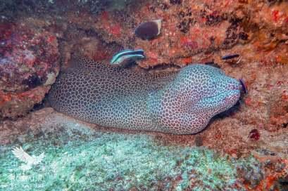 Honeycomb Moray, Scuba Diving, Tofo Beach, Mozambique