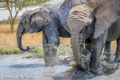 Elephants having a Splash, Umani Springs