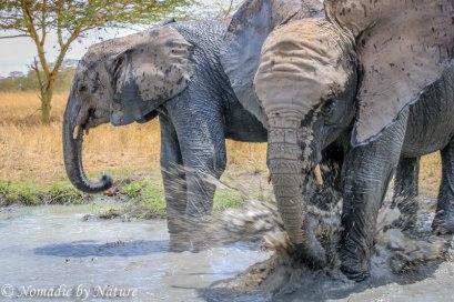 Elephants having a Splash, Umani Springs