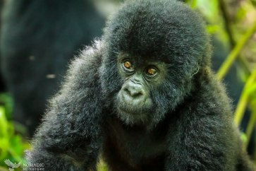 Baby Gorilla Comes to Investigate Me, Virunga National Park, DR Congo