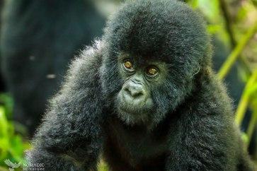 Baby Gorilla Comes to Investigate Me, Virunga National Park, DR Congo