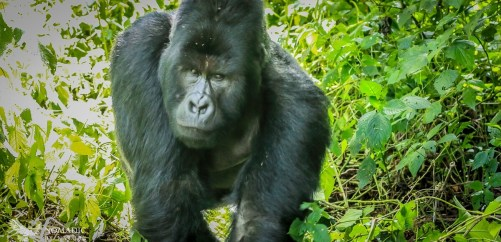 Humba Walking Straight at Me, Virunga National Park, DR Congo