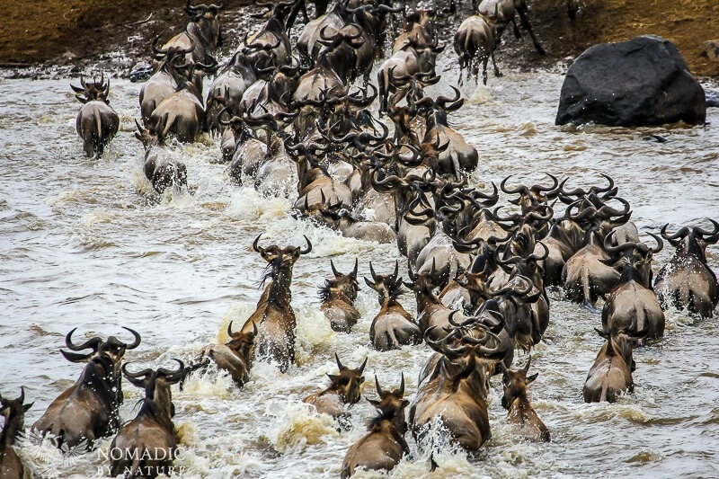 A Frenzy of Wildebeest Struggle to Cross the Mara River