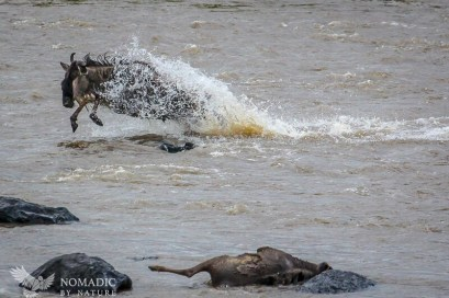 Encased in a Cape of Water, the Wildebeest Leaps Forth